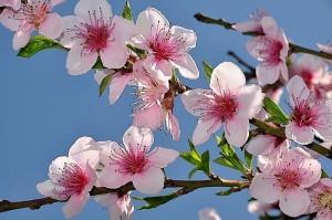 wiosna-kwiaty-brzoskwini